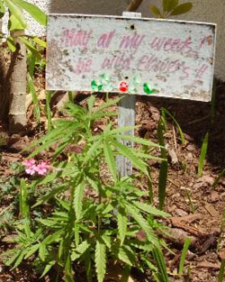 My mother is growing weed