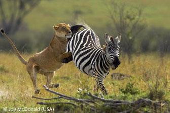 Fatal lion kill