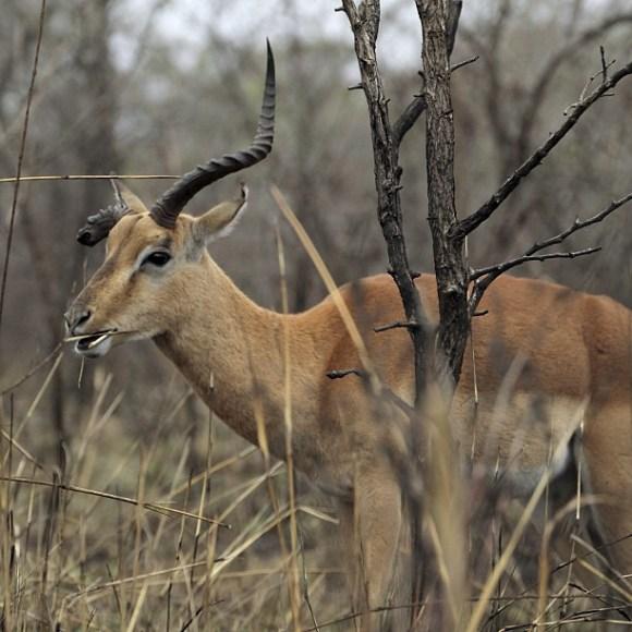 battered-impala