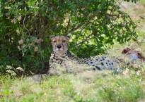Samburu National Reserve- game drive - Kenya - Gate 1 Travel - Discovery Small Group - Cheetah