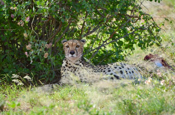 Samburu National Reserve- game drive - Kenya - Gate 1 Travel - Discovery Small Group - Cheetah