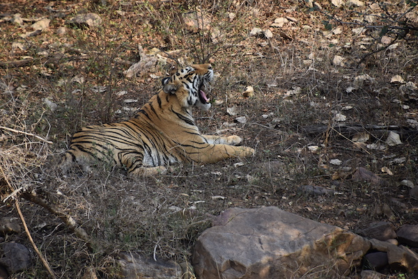 tiger - royal bengal tiger - tiger safari - Ranthambore National Park - India - India trip - India travel