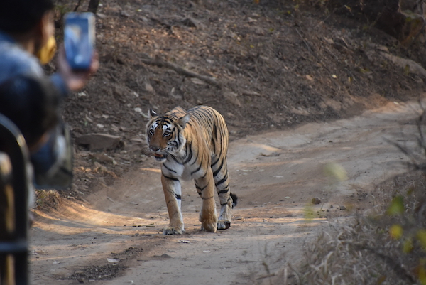 tiger - Royal bengal Tiger - tigers in the wild - tiger safari - Ranthambore National Park - India - India trip - India travel