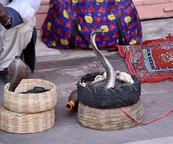 snake - snakes - cobras - cobra- snake charmer - Snake charmers in India