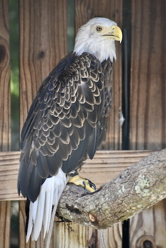 bald eagle at Boyd Hill Nature Preserve's aviary