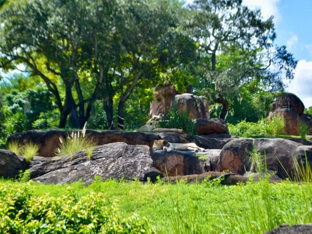 a lion sleeping on Pride Rock on Kilimanjaro Safaris at Disney's Animal Kingdom
