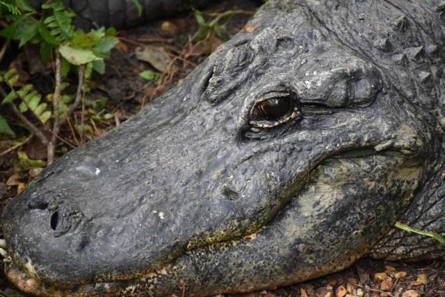closeup photos of a Florida alligator at the Ellie Schiller Wildlife Park