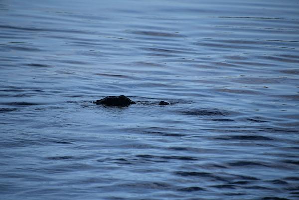 head of an alligator we saw on Sanibel Island Florida