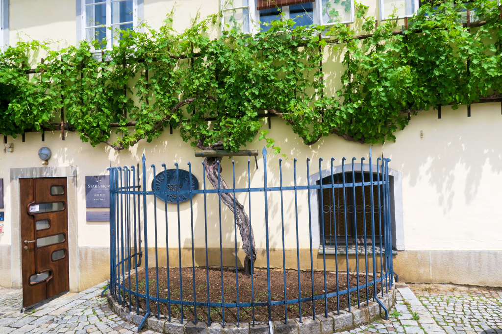 The oldest grape vine in the world