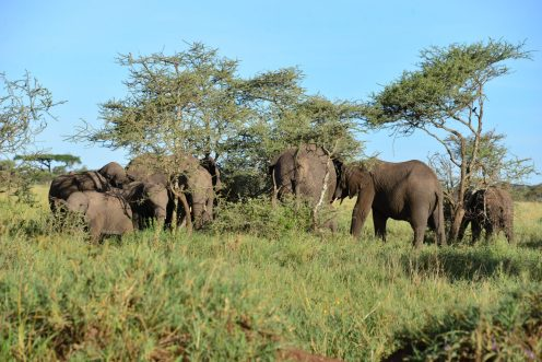 Elephants all very close. Unusual