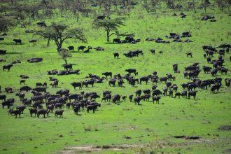 How many buffalo