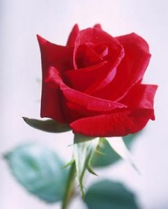 rose_usda-web