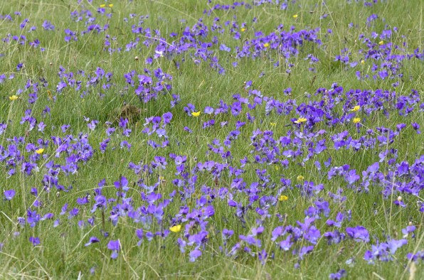 On the Astraka tops just below Mt Gamila the violets were so abundant in May that they turned whole sections of the meadows blue that could be seen from miles away