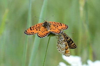 Spotted fritillary is one of the commonest and most beautiful of the Zagori species in spring