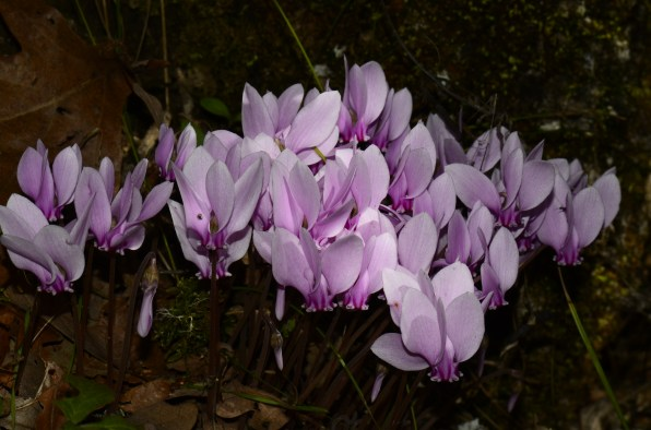 the stygal gloom in the woods around Vikos was frequently softened by the million tapers of the flowering cyclamens