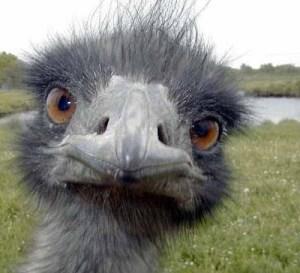 ostrich-head