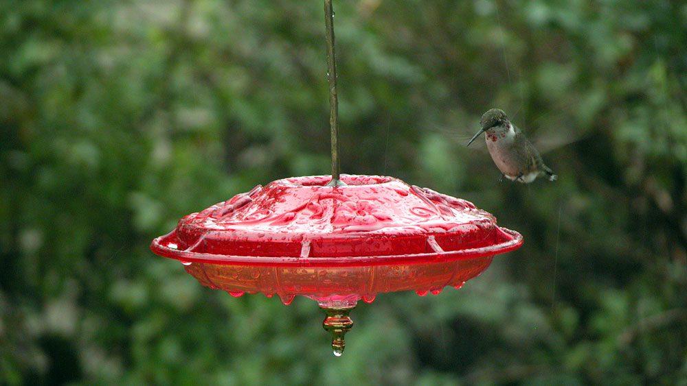 Hummingbird (Ruby-throated hummingbird) feeding at hummingbird feeder