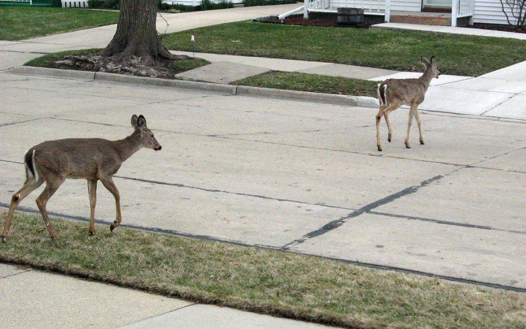 White-tailed deer crossing Racine, Wisconsin street