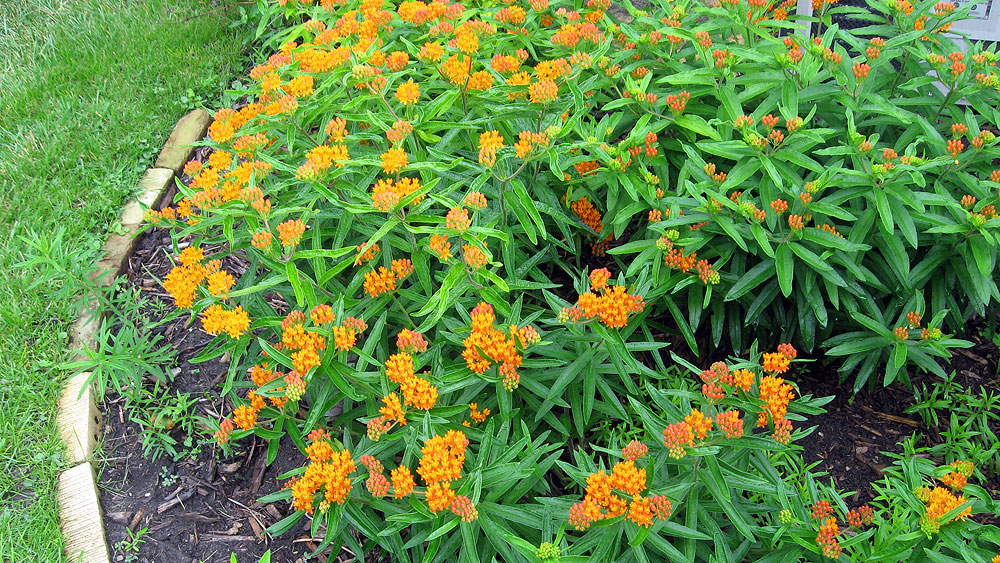 milkweed bug infestation of butterfly weed, Beautiful flower