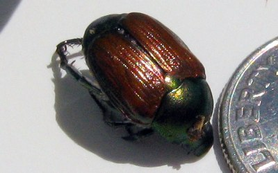 Japanese Beetle control: Grubs in lawn