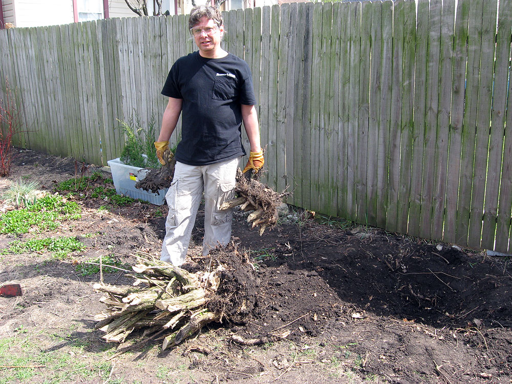 Backyard landscaping: Stump removal of shrubs before planting junipers