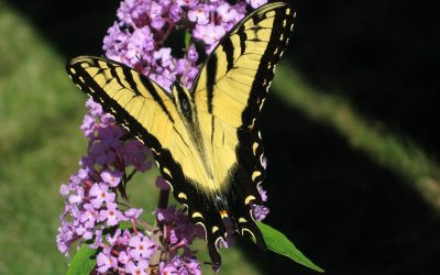 Tiger Swallowtail on Butterfly Bush, Racine, Wisconsin