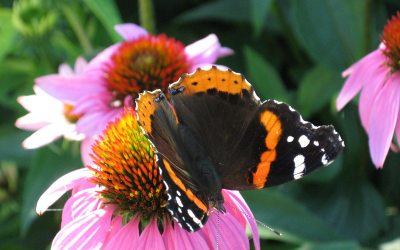 Red Admiral butterfly, purple coneflower, Racine