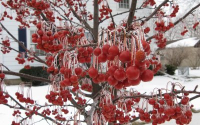 Red Jewel Crabapple tree, iced