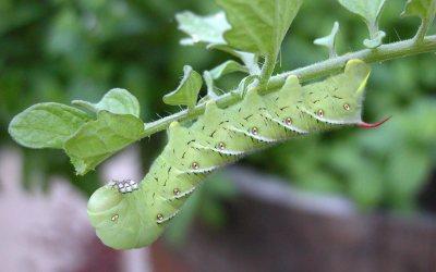 Tobacco hornworm caterpillar (Manduca sexta)