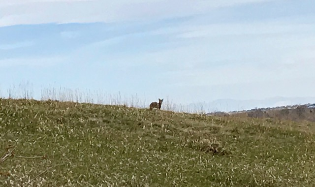 Coyote watching humans and, curious?