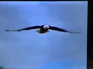 Eagles are now flourishing