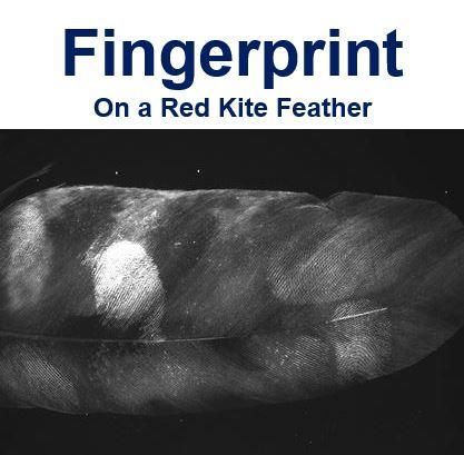 Fingerprint on Red Kite Feather