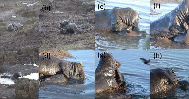Adult Grey Seal eating a Grey Seal pup