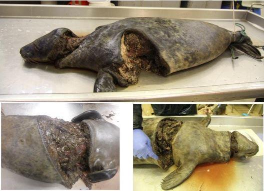 Injured Grey Seal pups