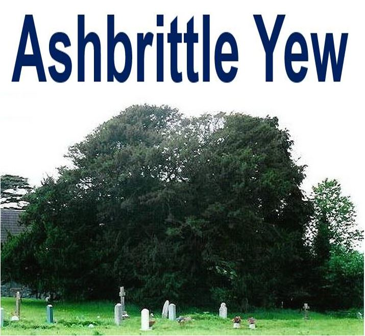 Ashbrittle Yew