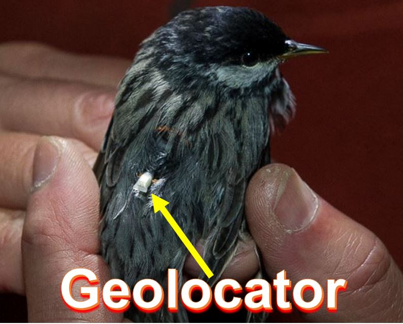 Bird with geolocator
