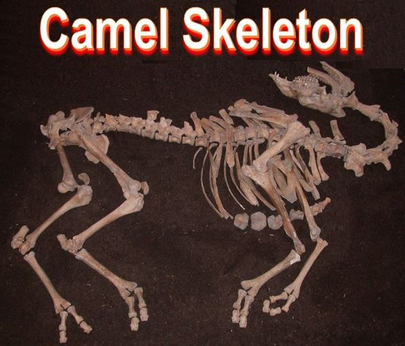 Camel skeleton found in Austria
