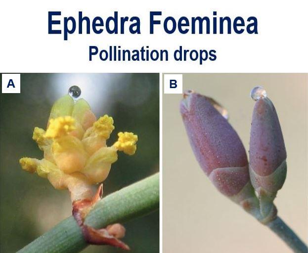 Ephedra Foeminea pollination drops