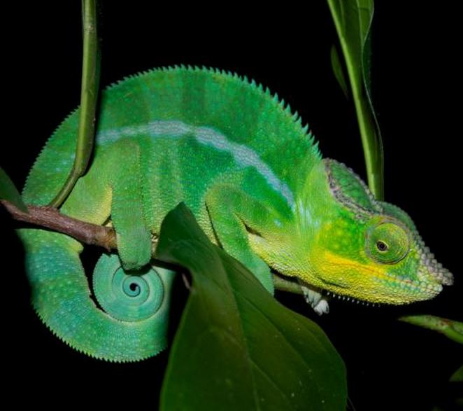 Another Panther Chameleon