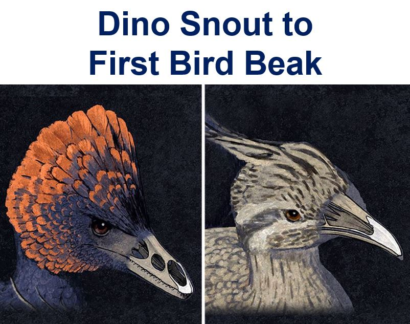 Transition from dinosaur snout to bird beak recreated by scientists ...