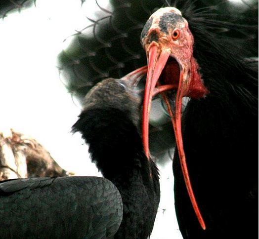 Northern Bald Ibis feeding chick