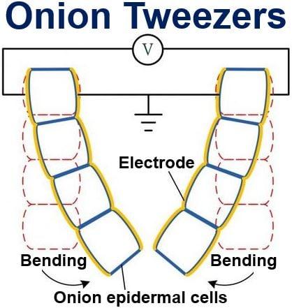 Onion Tweezers