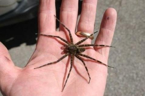 Fen raft spider human hand