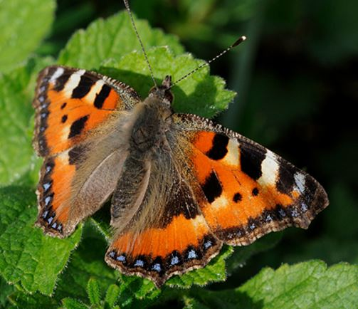 Small Tortoiseshell butterfly population