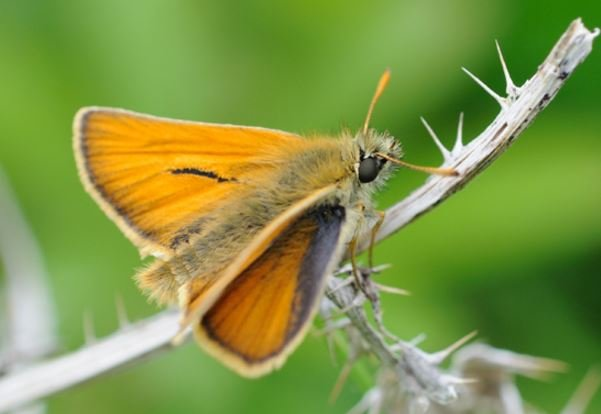 Small Skipper Butterfly population