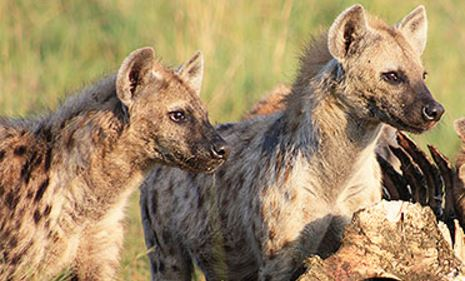 Qualities of leadership hyenas