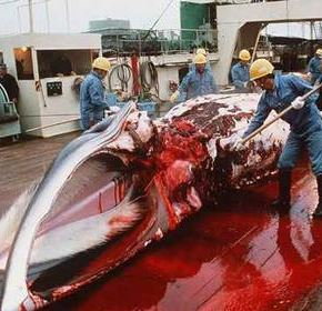 Japan to resume whaling while Australia considers court
