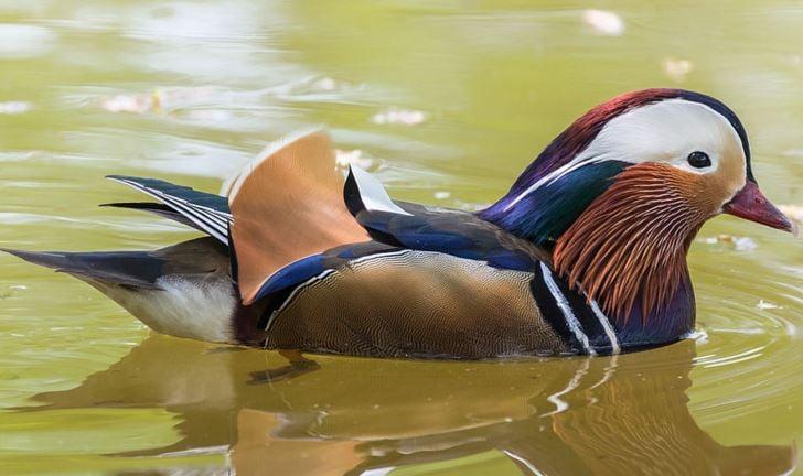 Mandarin duck colours never fade
