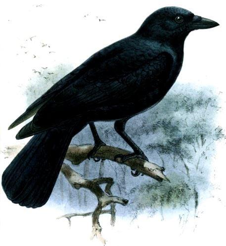 New Caledonian Crow