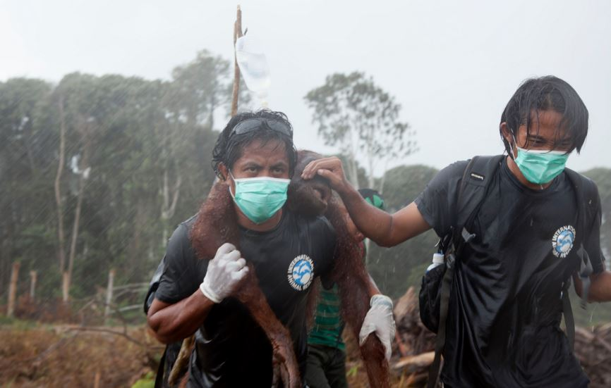 Orangutan being rescued